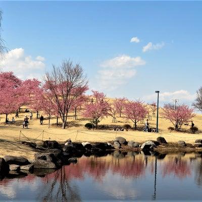 河津桜の咲く丘の記事に添付されている画像