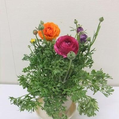 色鮮やかなラナンキュラス(鉢花)入荷致しました!の記事に添付されている画像