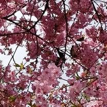 日限地蔵尊の河津桜とメジロの記事に添付されている画像