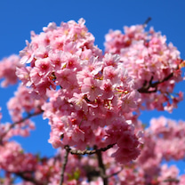 第17回 三浦海岸桜まつり♪の記事に添付されている画像
