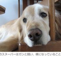 【聞きたい。】東日本大震災から8年――ペット禁止の避難所で過ごしたゴールデン・レの記事に添付されている画像