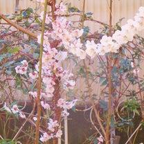 気が付いたら庭の梅が!。主人はいまだ転職活動中。前向きに行こう♪。の記事に添付されている画像