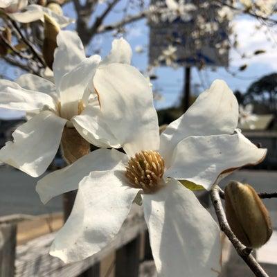コブシ咲く…の記事に添付されている画像
