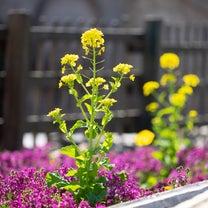 3/9  ディズニーシーの菜の花の記事に添付されている画像