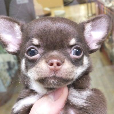 ペットショップオーパ天神店「スムースチワワちゃん♡」の記事に添付されている画像