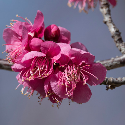 私の暮らしている土地の植物・生き物・風景がテーマです〈紅白梅ー1〉No.1078の記事に添付されている画像