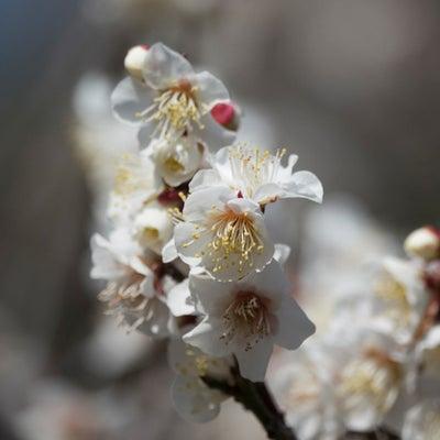 私の暮らしている土地の植物・生き物・風景がテーマです〈紅白梅ー2〉No.1078の記事に添付されている画像