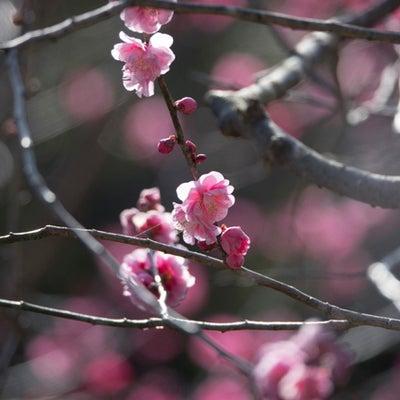 私の暮らしている土地の植物・生き物・風景がテーマです〈紅白梅ー3〉No.1078の記事に添付されている画像
