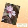 アーモンドの花が咲きました‼️の画像