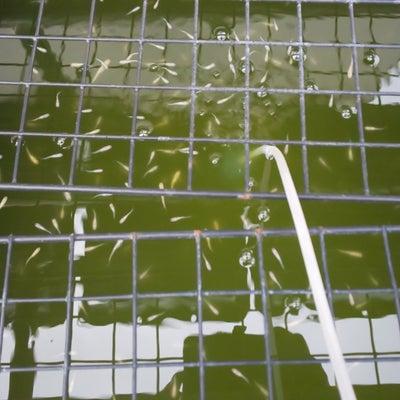 飼育場の巡回と水質についての記事に添付されている画像