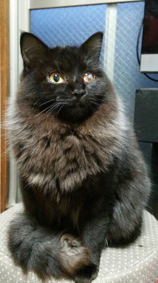 里親募集】黒猫?長毛 生後半年のメスです 再投稿