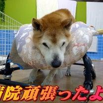 ☆3/17 病院頑張ったよ!老犬本舗☆の記事に添付されている画像