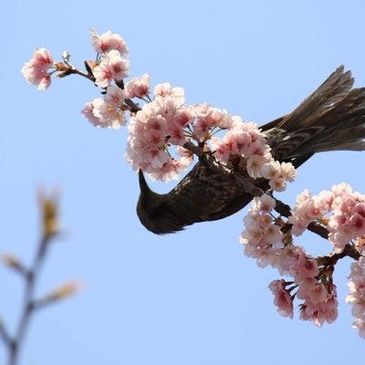 豊川稲荷東京別院★エドヒガン桜とヒヨドリの記事に添付されている画像