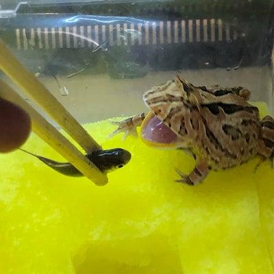 カエルの給餌とレックウザ捕獲撮影の記事に添付されている画像