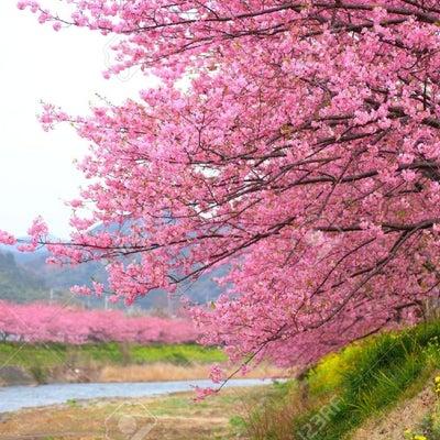 ツインエアキャノンと長谷部が火を吹く予感の桜満開の記事に添付されている画像