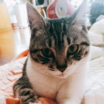 猫の避妊手術しましたin韓国の記事に添付されている画像