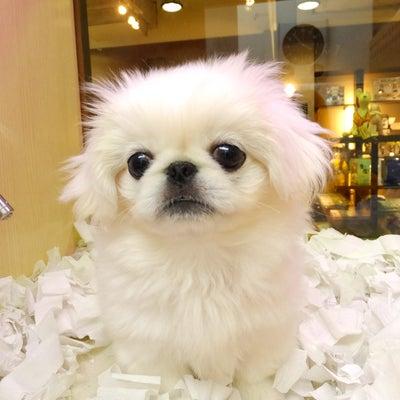 ペットショップオーパ鳥栖店「クリクリお目めがかわいい子♡」の記事に添付されている画像
