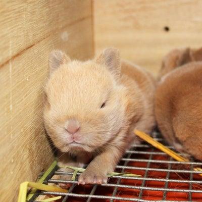 茨城県水戸市にあるウサギ販売店「プティラパン」 ネザーランド『クルミ』ベビー 3の記事に添付されている画像
