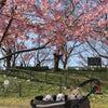 河津桜他の画像