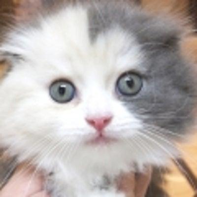 ペットショップオーパ筑紫野店「大人気♡ペッタンコお耳のスコちゃん♡」の記事に添付されている画像
