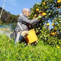 清見オレンジちゃんの収穫はじめま~す。の記事に添付されている画像