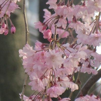 3月19日 誕生花・誕生石・誕生色・花言葉・宝石言葉・色言葉の記事に添付されている画像