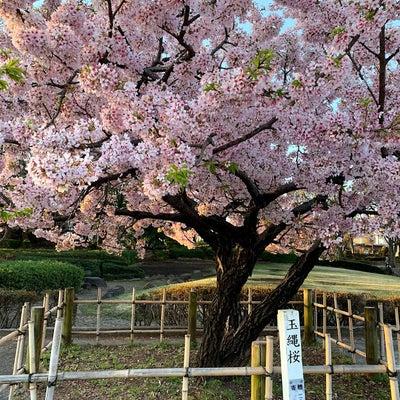湘南台公園の玉縄桜の記事に添付されている画像