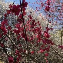 さくら開花?のなかヘルシーランチ(*^▽^)/★*☆♪の記事に添付されている画像