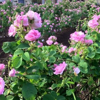 【増席分・残席1名様】ローズ摘み取り蒸留&ガーデンBBQ@宍戸園の記事に添付されている画像
