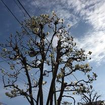 根津神社前のモクレンの記事に添付されている画像