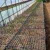 枝豆の準備が始まってますの画像