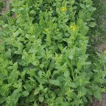 すずめの畑は春真っ盛りの記事に添付されている画像