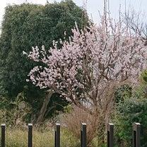 桜前線到来の記事に添付されている画像