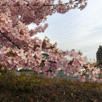 戸田川緑地 河津桜 が見ごろです!!の記事に添付されている画像