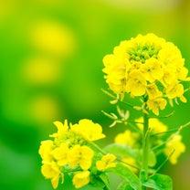 菜の花ちゃんの記事に添付されている画像