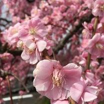 梅の花の香りに癒されに行ってきました・奈良県の端っこ月ヶ瀬梅林への記事に添付されている画像