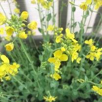 ベランダ菜園花盛り♡の記事に添付されている画像