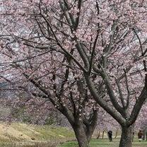 坂戸にっさい桜まつりの記事に添付されている画像