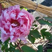 桃色の牡丹と共に流れる人生の名言!の記事に添付されている画像