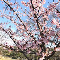 桜が美しい季節!桜メノウの記事に添付されている画像