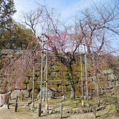 2019年 和歌山城の枝垂れ桜の記事に添付されている画像