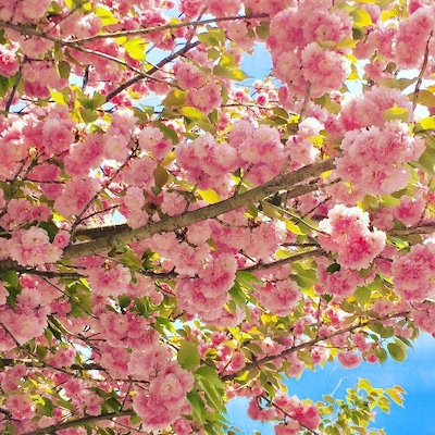 ジャポニズム日本の桜kimono表紙作品の記事に添付されている画像