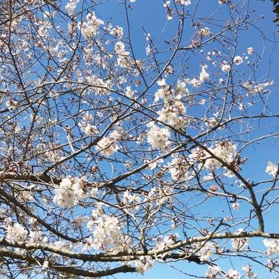 桜が開くとの記事に添付されている画像