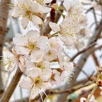 我が家の桜、開花しましたの記事に添付されている画像