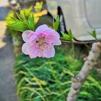 ∞桜が咲いた\(^-^)/∞の記事に添付されている画像