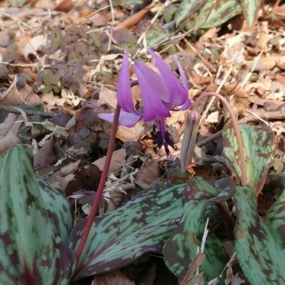 春の妖精の記事に添付されている画像