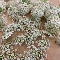 押し花作り♫の記事に添付されている画像
