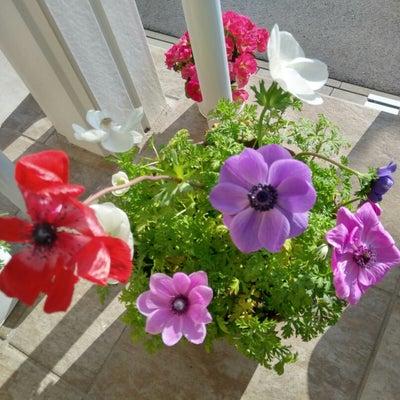 アネモネ開花♪の記事に添付されている画像