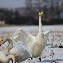 白鳥が北へ帰ります~の記事に添付されている画像