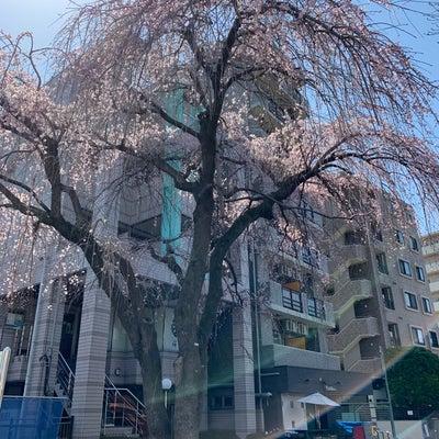 原町田の枝垂れ桜の記事に添付されている画像